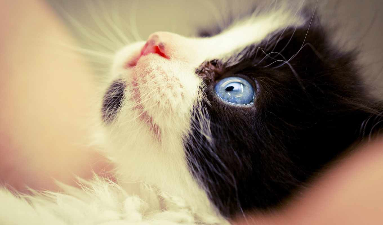 black, котенок, white, kittens, blue, eyes, resolution, you,