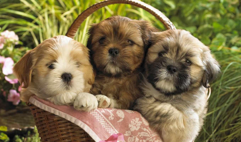щенки, обои, красивые, животные, фото, собаки, мб,