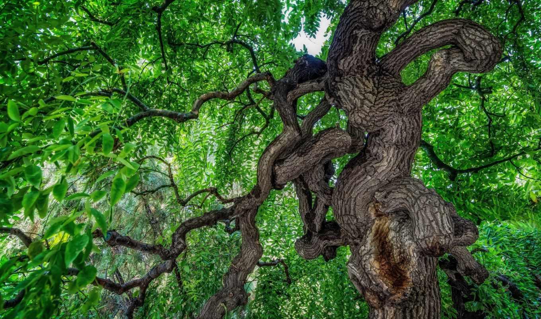 листья, priroda, дерево, ветки, makro, cvety, раскидистое, дек,