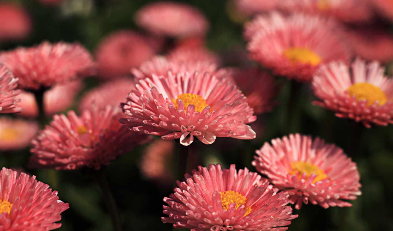 flowers, розовые, макро, цветы,