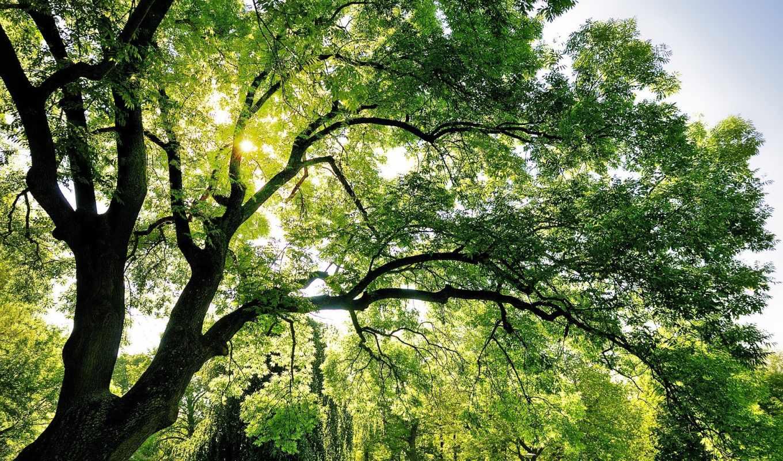 дерево, природа, небо, ветвистое, зеленое,