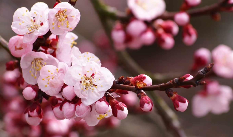 Сакура, цветы, cherry, branch, цветение, лепестки, марта, бутоны, сакуры, весна,