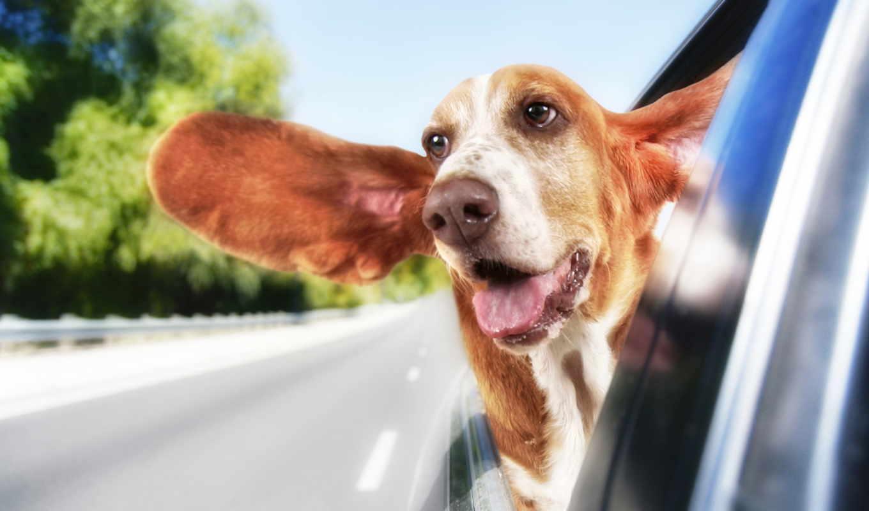 собака, out, car, priroda, окно, windows, голова, hound, basset, ветер,