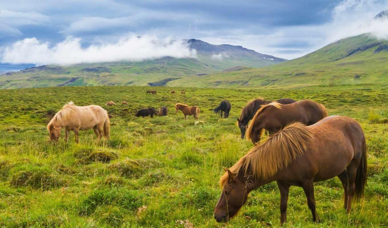 iceland, лошади, горы, луг, исландские,
