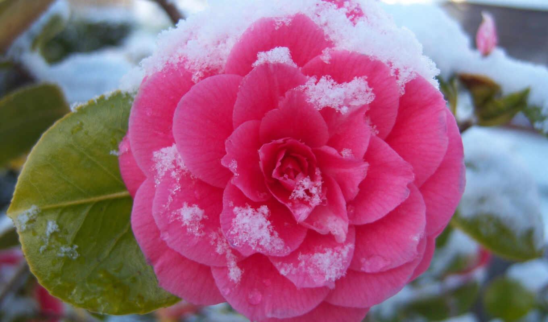 снег, цветы, makryi