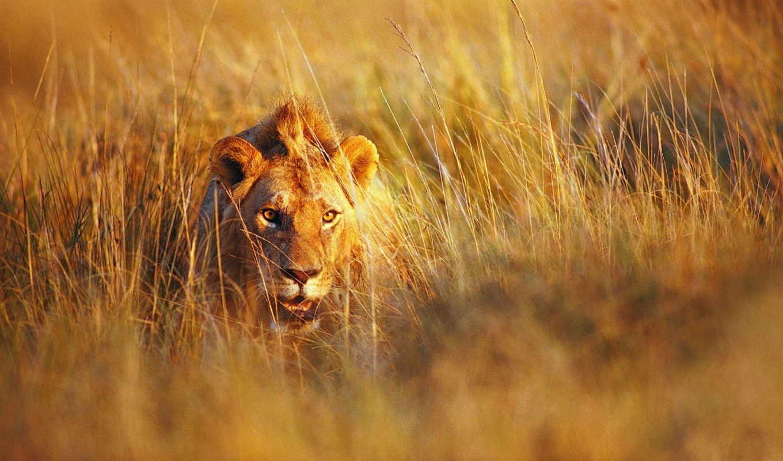 lion, сухая, трава, июня, животные, количество, king, сурьки, янв,