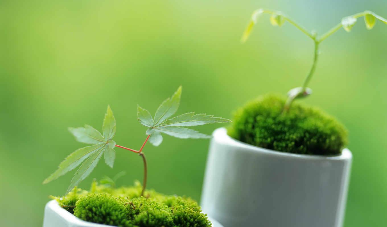 растительность, декоративные, эти, ростки, зеленые, зелёный, можно, макро, маленькие, весна,