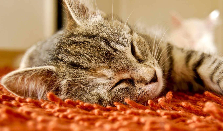спит, kot, дек, после, кошка,