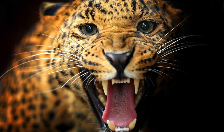 black, кот, леопард, хищник, animal, пасть, dark, несмотря,