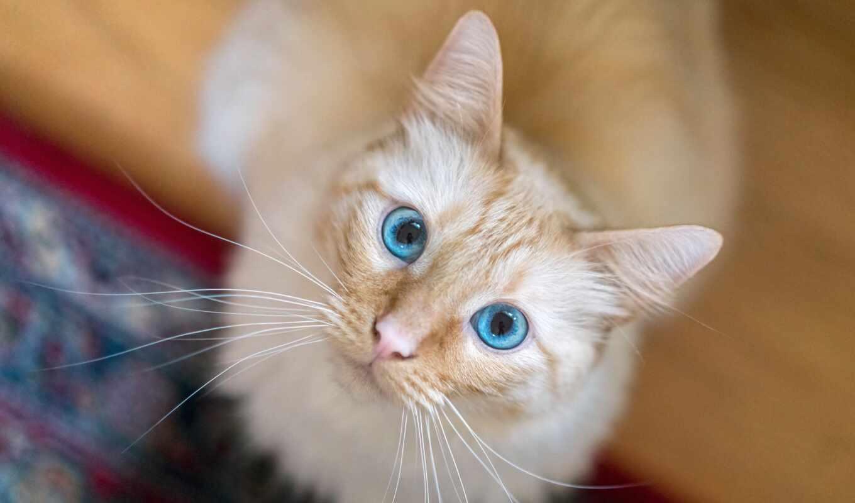 кот, взгляд, морда, arabian, side, котейка, mau, котенок, blue