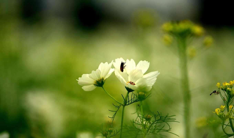 цветок, зелёный, белый, космея, лепестки, природа, трава, лето, пчела, поляна, цвет,