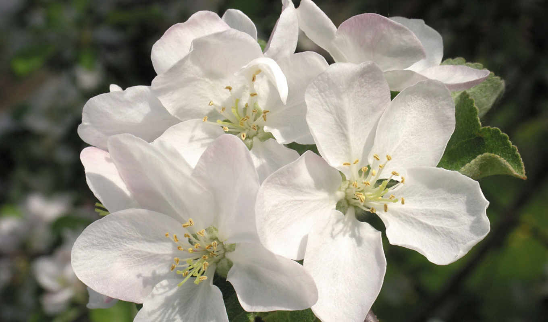kwiaty, красивых, подборка, śliwy, девушек, kwiat,