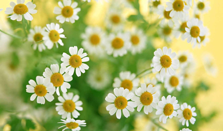 cvety, ромашки, растения, белые, букет, зелёный, высокого, разрешения, лепестки, summer, макро,