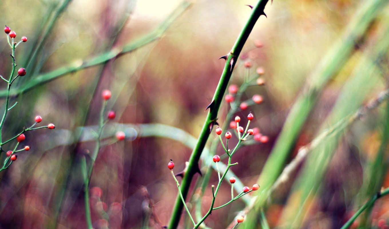ягоды, макро, красные, шипы, растительность,