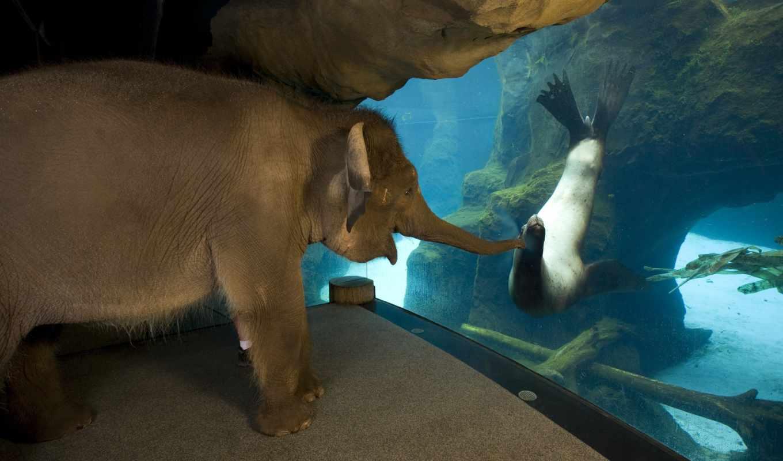 small, слоник, zhivotnye, приколы, тюлень, слон, котика, морского,