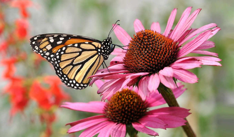 бабочки, бабочка, эхинацеи,