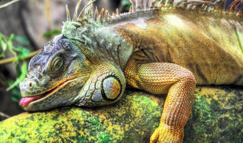 игуаны, iguana, глаз, части, головы, глазами, third, верхней, свет,
