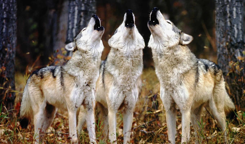 волк, wolves, серый, howling, вой, howls,