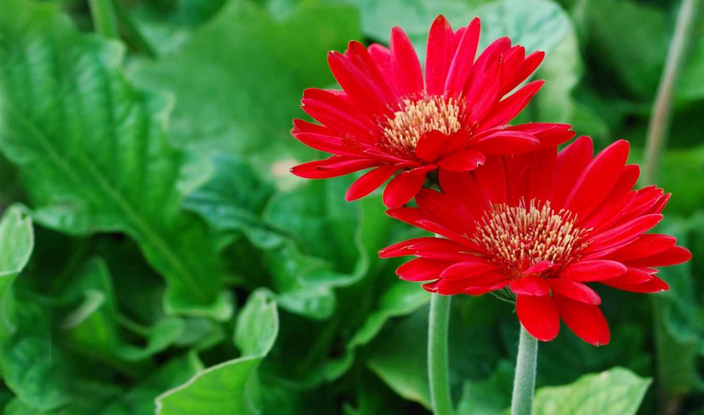 герберы, petals, зелёный, красные, цветы,
