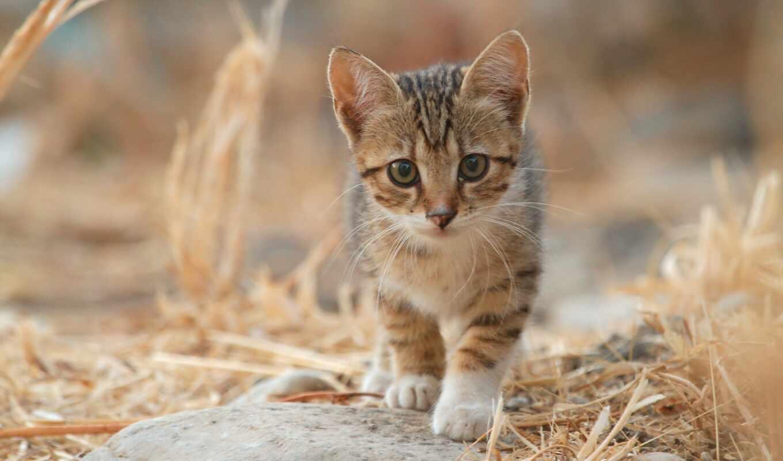 striped, котенок, кот