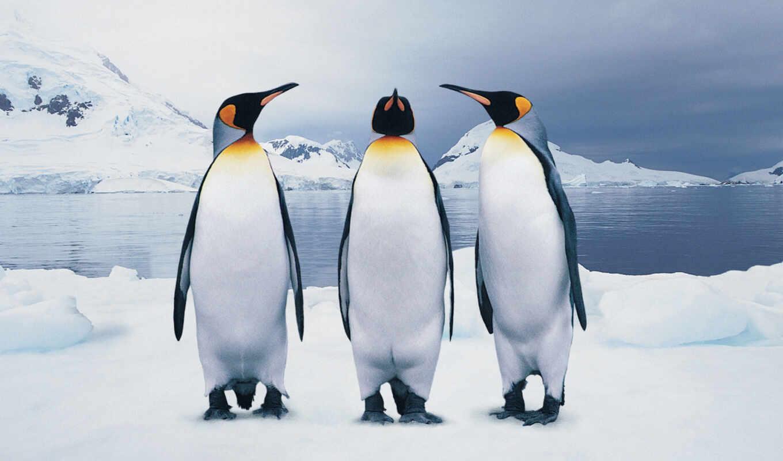 пингвин, пина, animal, автор, pin, найти, pinterest, could, снег, взгляд
