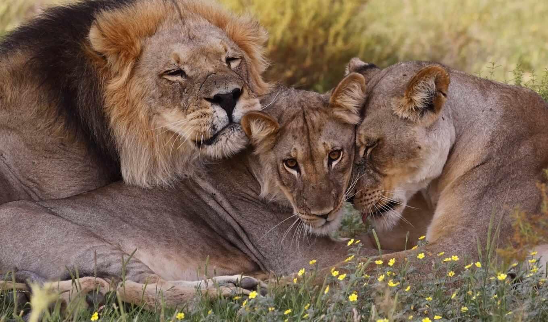 lion, left, семья, львица, pride, animal, south, львиный, wild, zhumagul, гора