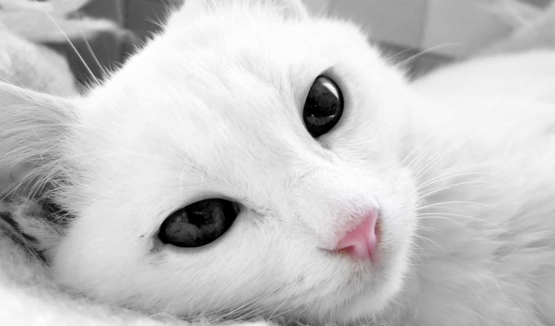 глазами, кот, кошки, черными, белая, white,