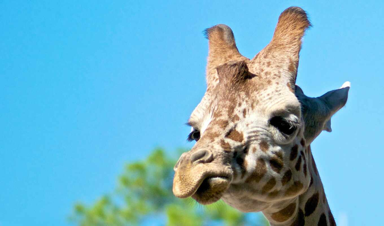 funart, жирафа, oir, язык, onlainzhirafa