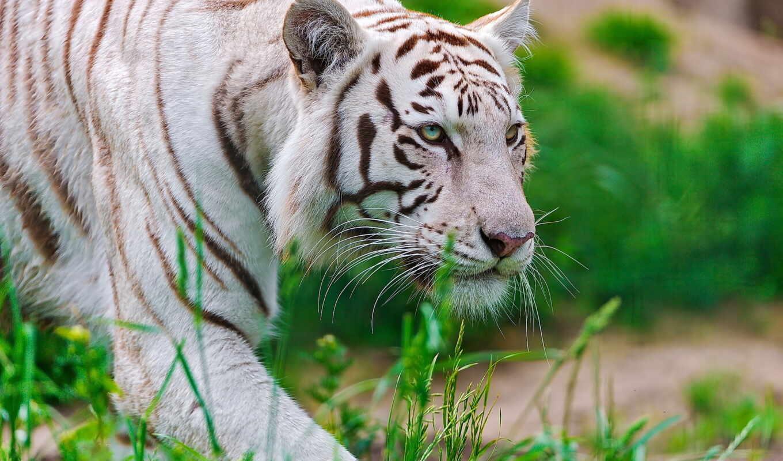 животные, тигры, хищные, большие, качественных, животных, широкоформатных,