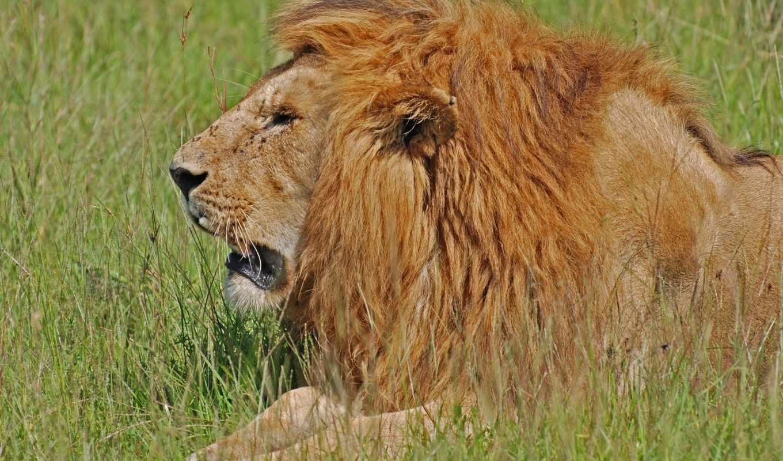 lejon, och, дет, википедия, ett, are, world, att,