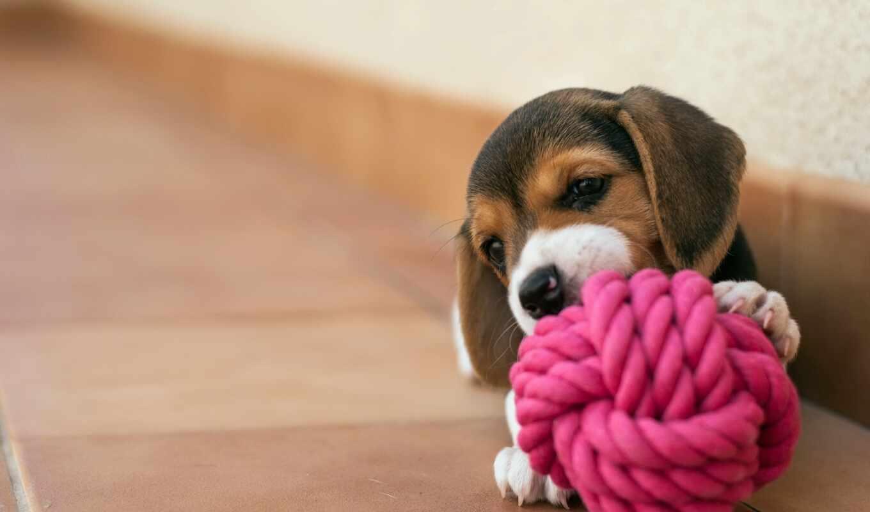 щенок, собака, biglit, house, мяч, play, little, веревка