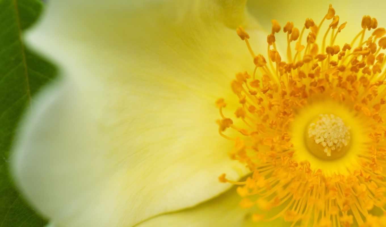 cvety, цветок, фэнтези, широкоформатные, разных, цветов, разрешениях,