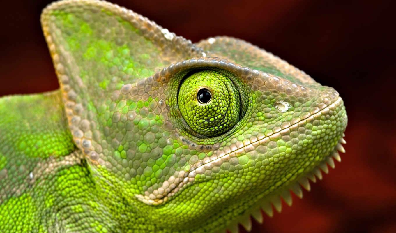 iguana, tinta, стену, изображением, фотообои, verde, camaleão,