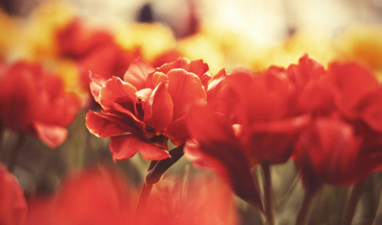 цветы, красные, лепестки, макро, категории,