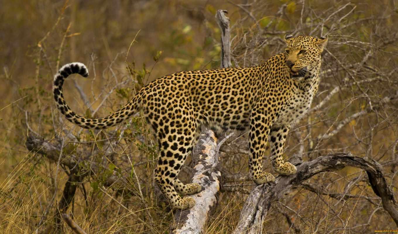 леопард, смотрит, стоит, природа, красивая, ipad, леопарды, source, кот,