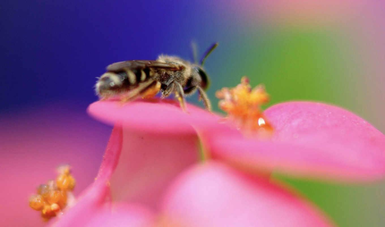 животные, пчела, цветок, фотографии, природы, цвет, tags, природа,