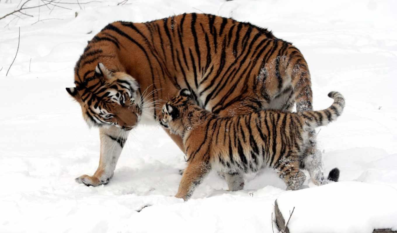 снег, тигр, тигренок, картинку, тигрица, тигры, картинка, мама, малыш, окрас, котенок, полоски, кошки, дикие, зима, мех, шерсть, tigers, прогулка, кнопкой,