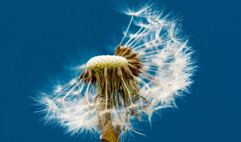 одуванчик, цветок, пушинки, картинка,