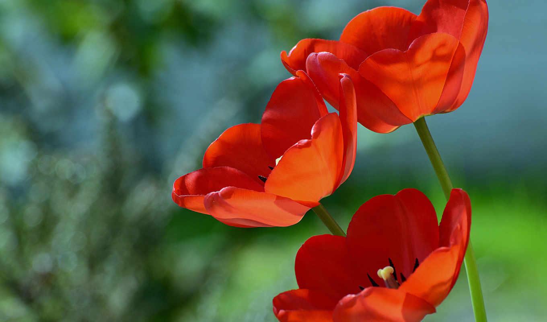 красные, цветы,