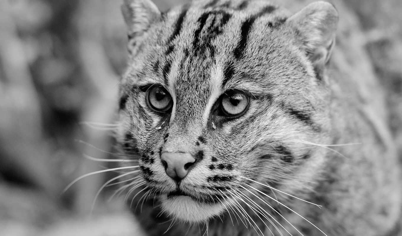 wildcat,