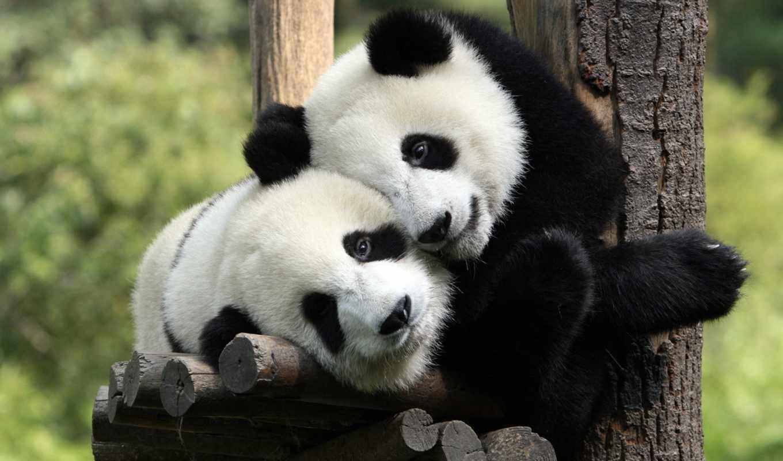 панды, обнимаются, отдых,