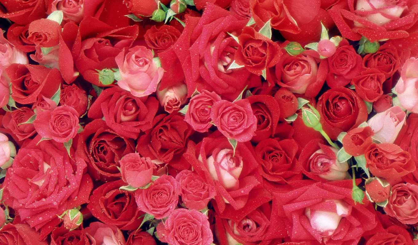 роза, roses, mobile, fresh, red, free,