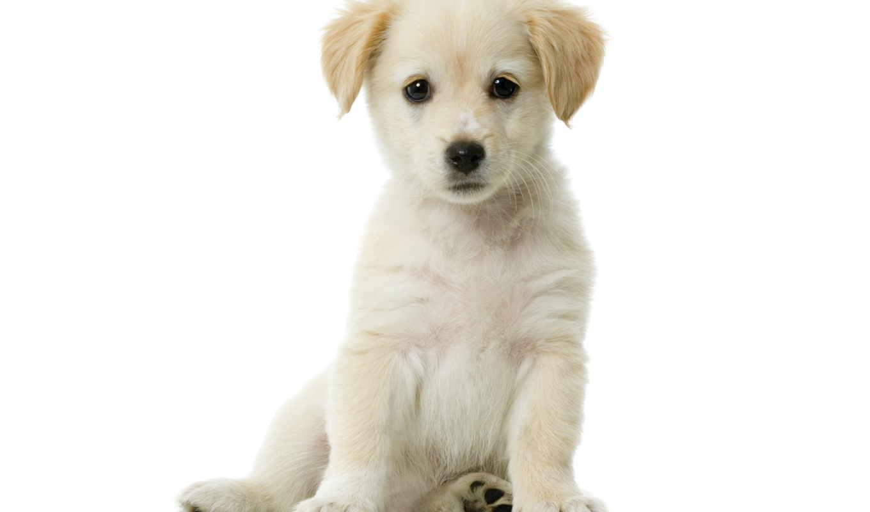 собака, щенок, pet, гигант, how, panels, порода,