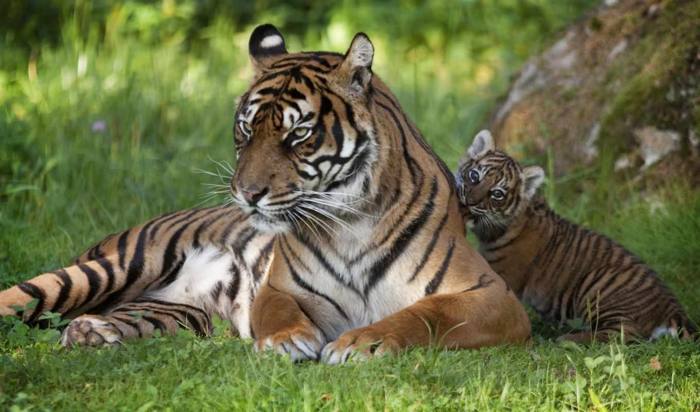 тигр, детёныш, тигрица, тигры, кошки, online, puzzle, тигрёнком, дикие,