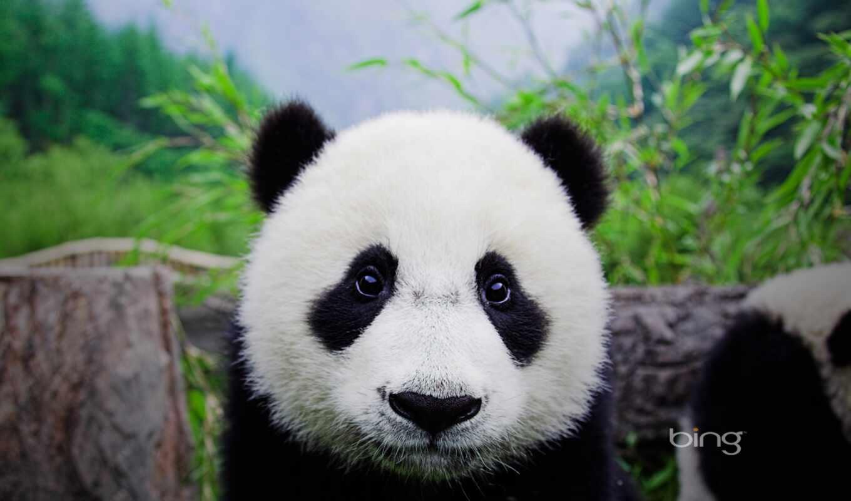 панда, биг, китаянка, rent, принадлежать, take, миро, инструмент, animal, demiart