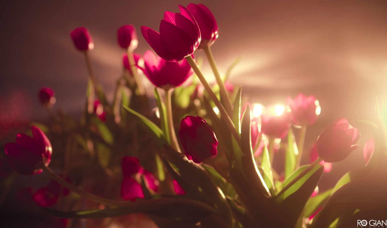 ,красные, flowers, red, widescreen, цветы,
