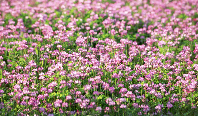 cvety, полевые, клевер, просмотреть, basik, priroda,