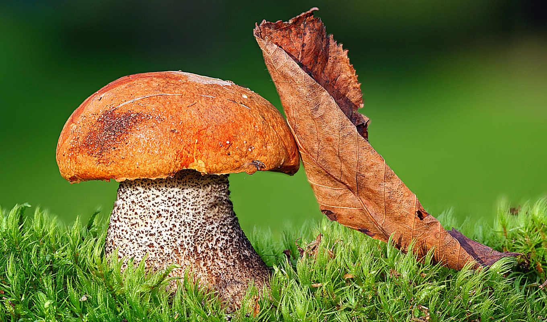 mushroom, white, грибы, грибов,