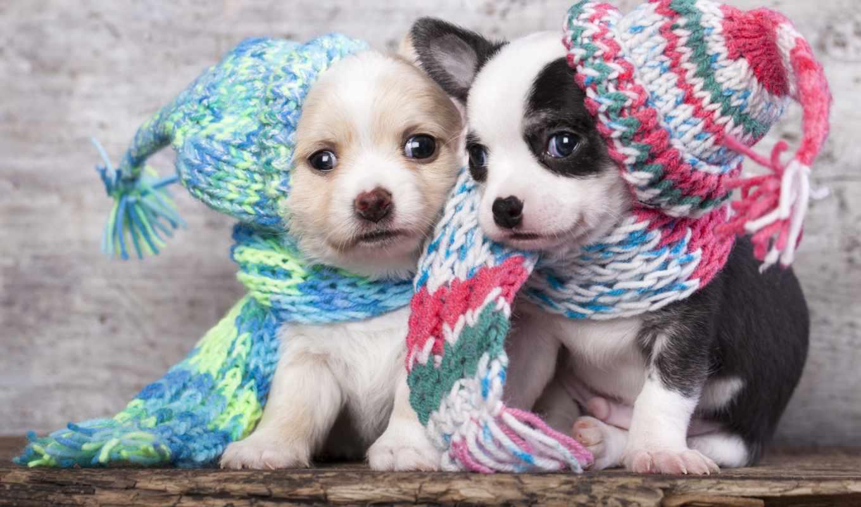щенки, красивые, польше, шапки, pair, собаки, that, little,