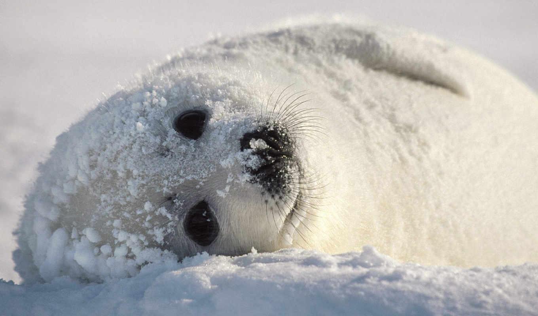 белек, тюленя, снегу, тюлень, zhivotnye, animal, детёныш, зооклубе, животных, морских,